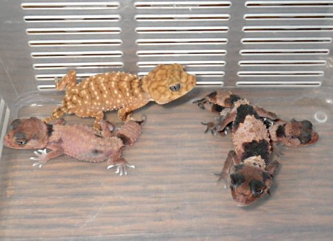 gecko1362.jpg